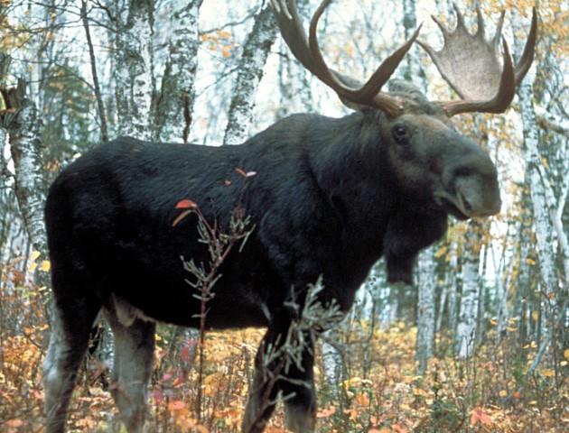 Судитимуть волинян, які вбили лосів на території НПП «Прип'ять-Стохід»