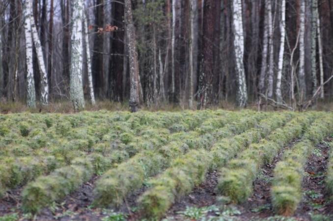 Як на Волині вирощують ліс у розсадниках лісгоспу. ВІДЕО