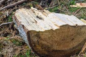 Волинянина оштрафують за незаконну порубку дерев