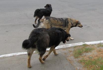 У Луцьку бігає зграя собак. ВІДЕО