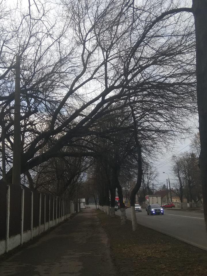 У Луцьку старе дерево може впасти людям на голову