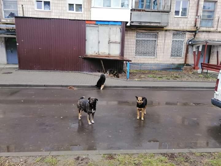 У Луцьку бродячі собаки покусали дитину. ФОТО