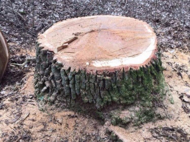 Волинянин сплатив майже 40 тисяч гривень штрафу за крадіжку дубів
