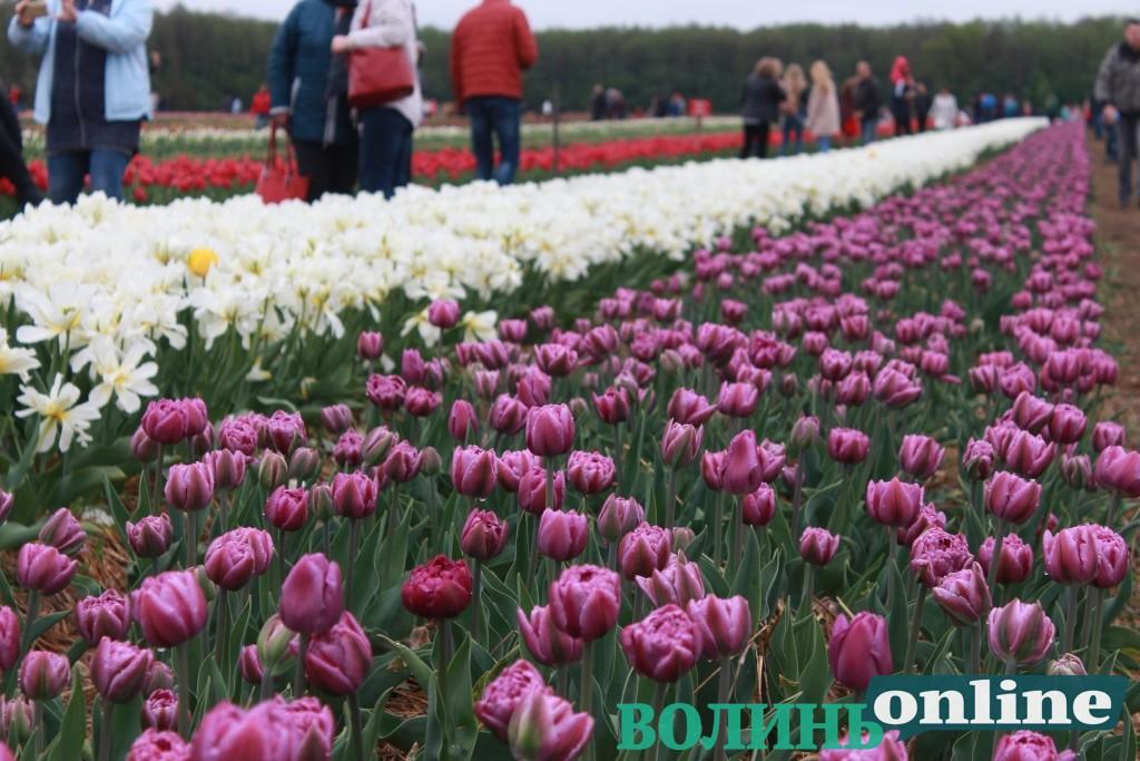 Розповіли, які ексклюзивні сорти цьогоріч квітнуть у «Волинській Голландії»