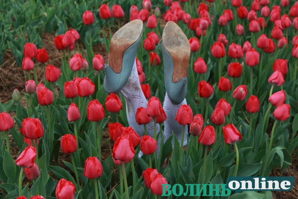 У «Волинській Голландії» – ажіотаж: на дорогах – затори, на вході – черги, всі хочуть побачити, як квітнуть 350 сортів тюльпанів