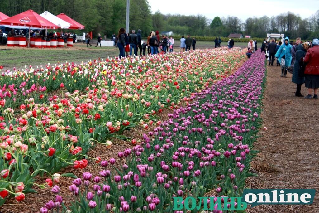 Освідчення серед тюльпанів: у «Волинській Голландії» хлопець зробив пропозицію коханій