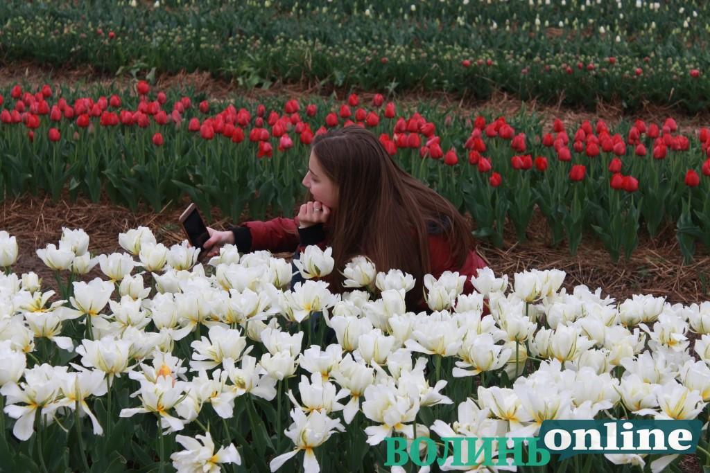 Показали, як у «Волинській Голландії» зрізають тюльпани. ВІДЕО