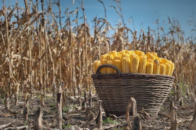 На Волині найвища врожайність кукурудзи