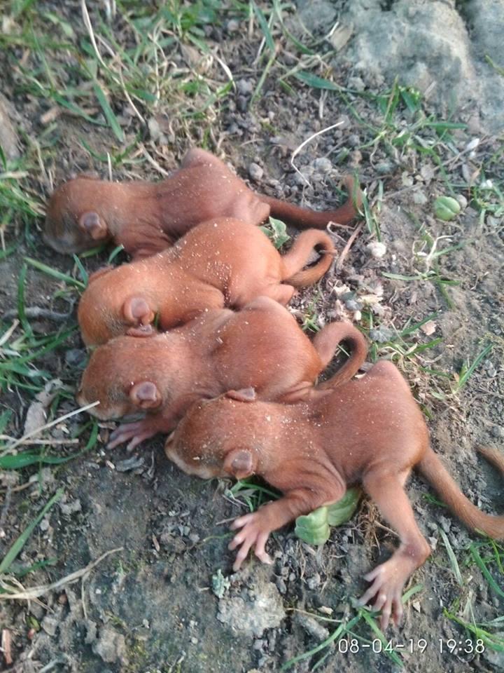 Волинянка знайшла білченят, які лишилися без мами