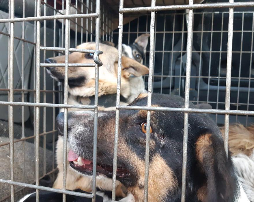 У Рожищі відловлювали безпритульних собак