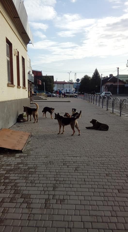 Вулицями райцентру на Волині розгулюють зграї собак