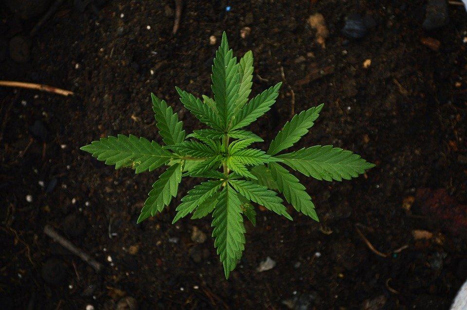 Законопроект про легалізацію медичного канабісу передали на реєстрацію