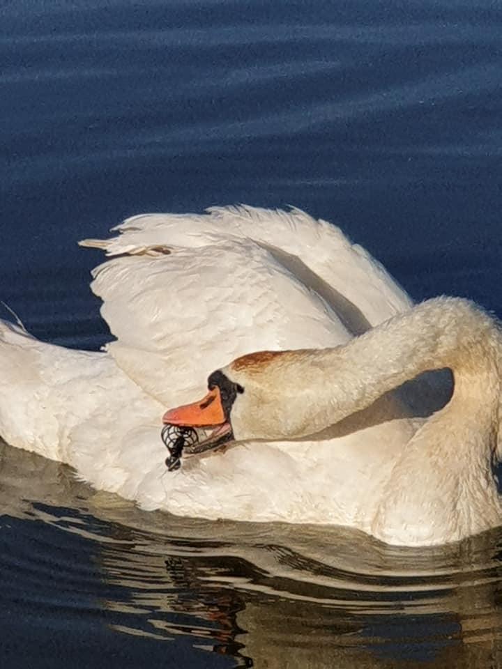Під Луцьком просять врятувати пораненого лебедя. ФОТО