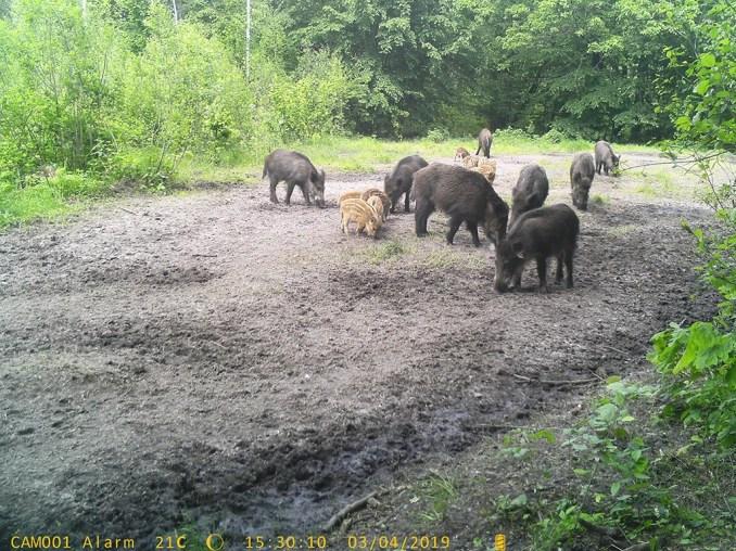 На Волині дикі звірі приходять на підгодівлю цілими родинами. ФОТО