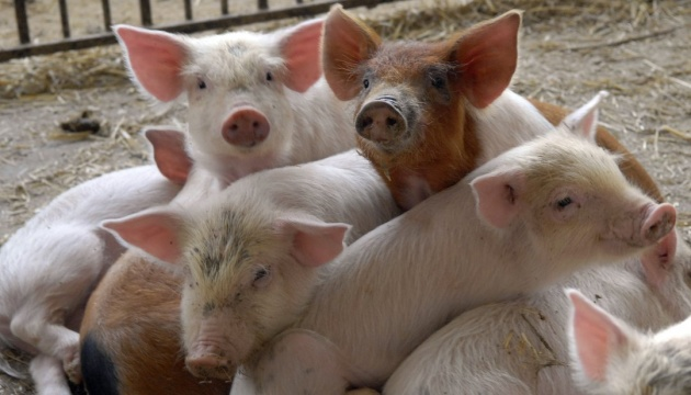 Африканська чума уразила свиноферму на Львівщині