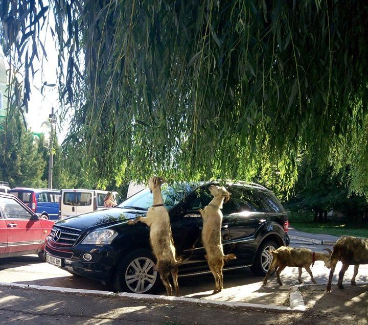 У місті на Волині вулицями бігають кози. ФОТО