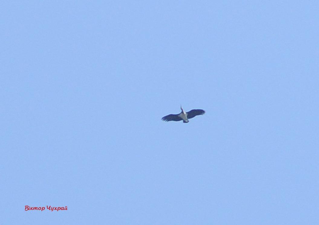 Над Луцьком помітили червонокнижних птахів. ФОТО