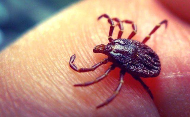На Волині зареєстрували два випадки кліщового вірусного енцефаліту