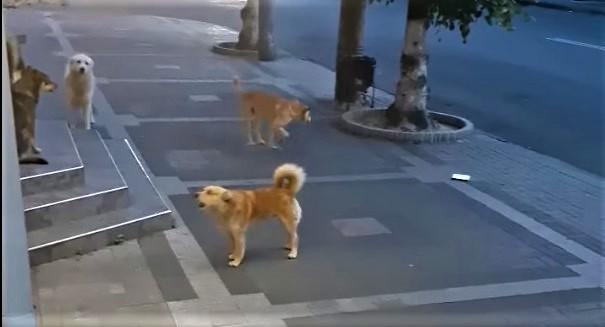 У Луцьку скаржаться на агресивних собак, які розгулюють у центрі міста. ВІДЕО