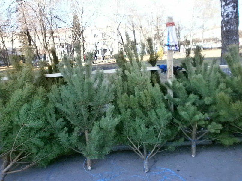 У місті на Волині визначили місця для реалізації новорічних ялинок