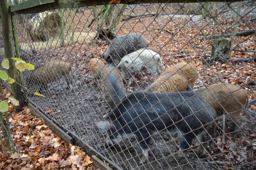 На Волині відновлюють популяцію диких кабанів