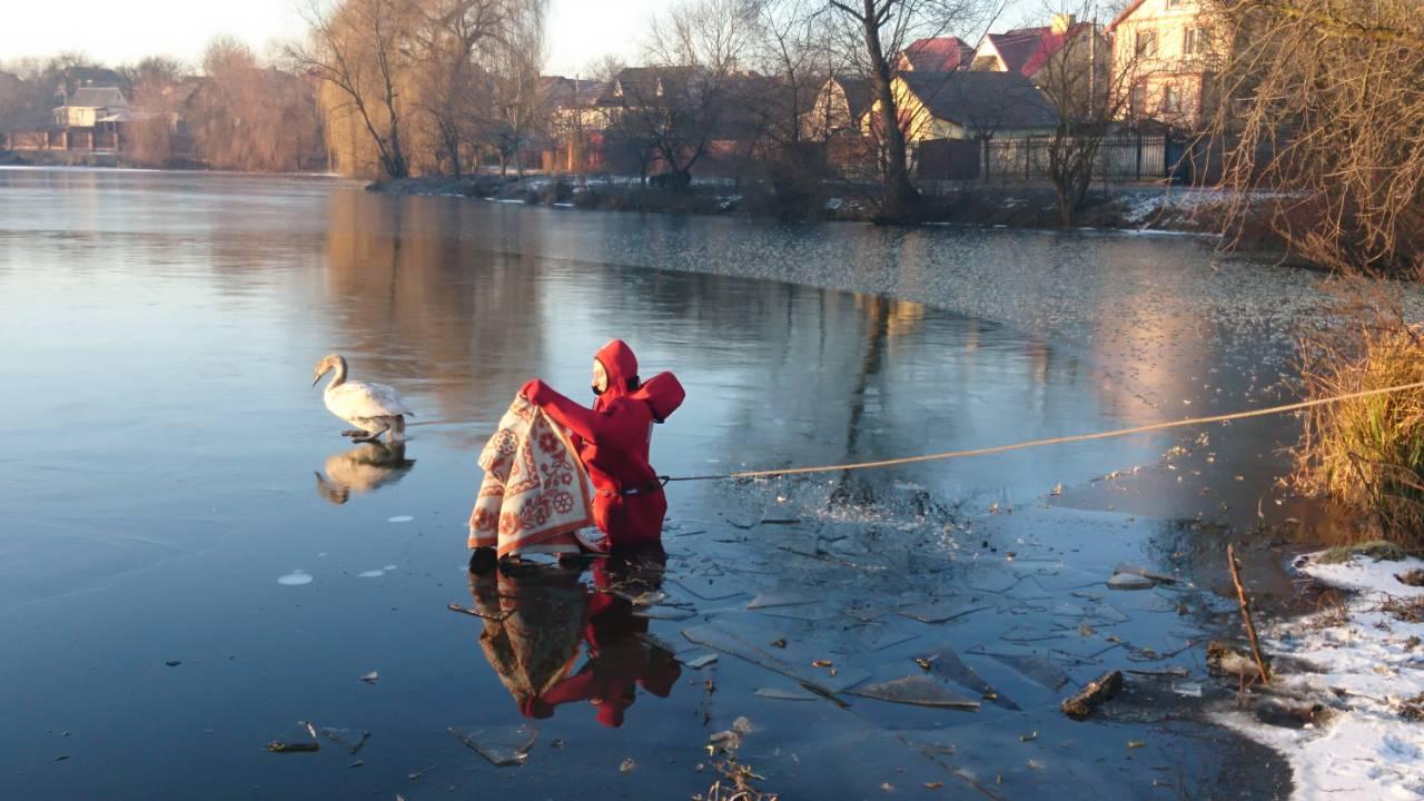 У Луцьку на кризі врятували двох лебедів