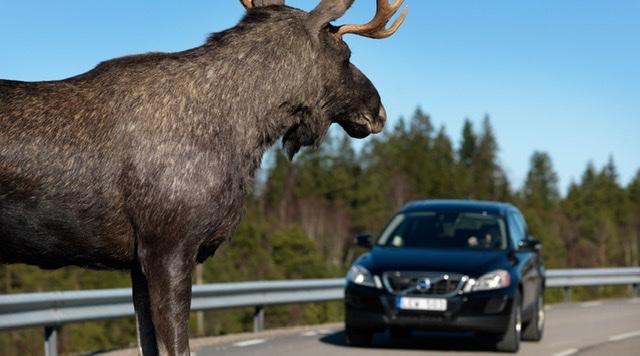 На Волині знайшли мертвого лося