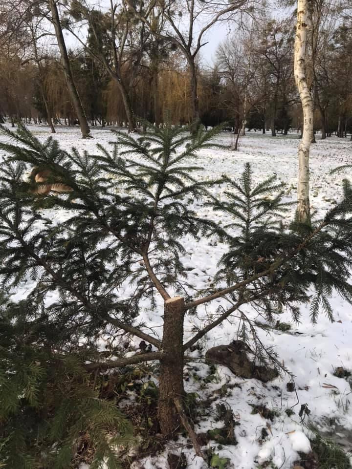 У парку Луцька невідомі зрубали ялинки