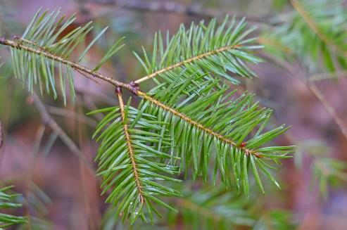 На Волині у лісництві росте дерево-екзот