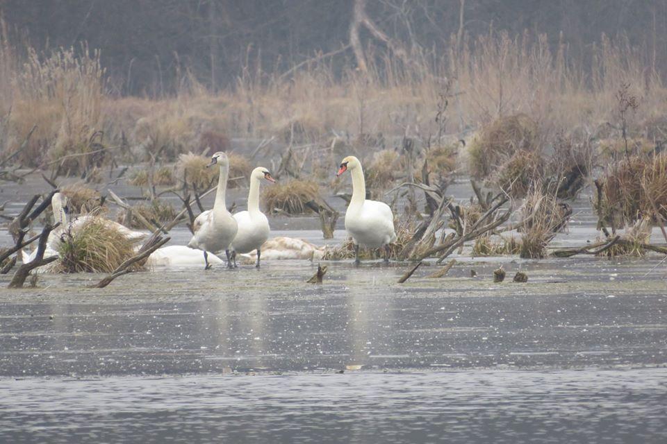 На водосховищі Волині зимують 40 лебедів. ФОТО