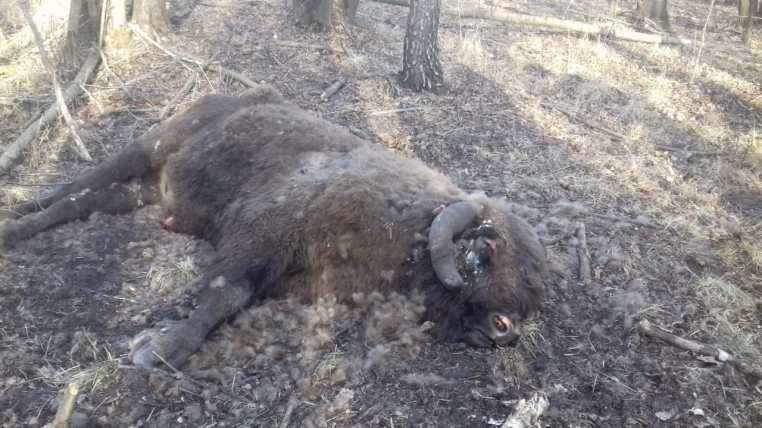 На Волині у вольєрі приватних мисливських угідь виявили тіло зубра