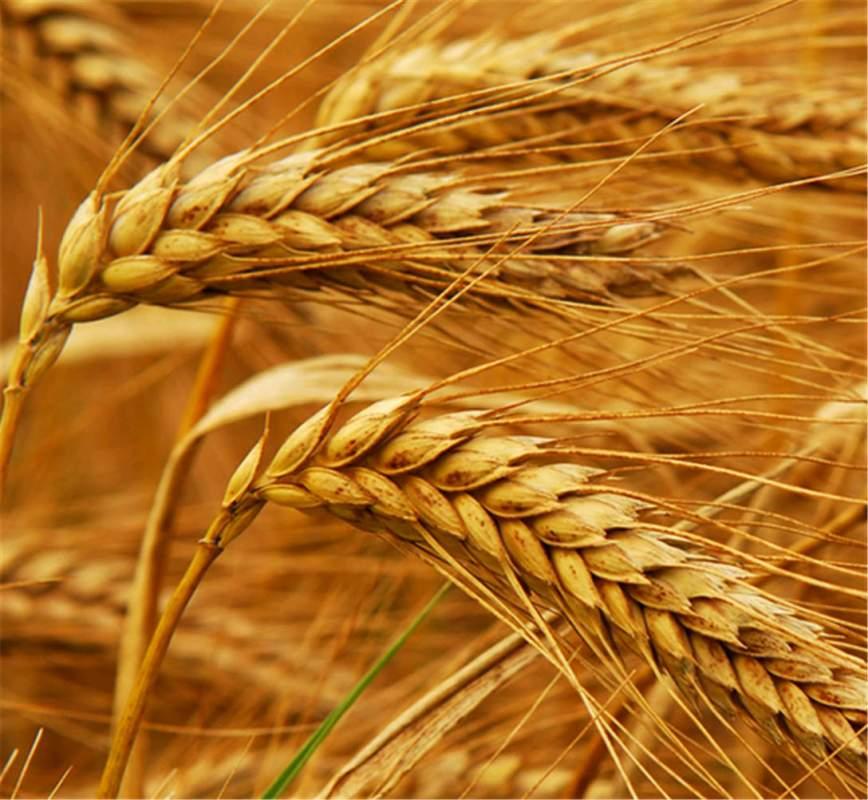 Понад один мільйон тонн зернових зібрали на Волині у 2019 році