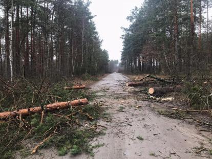 Щоб помститися лісовій охороні, чоловіки по-варварськи вирізали ліс на Волині