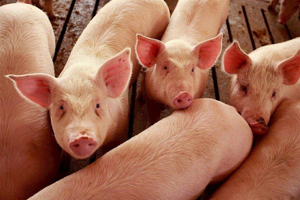 На Волині у свиней виявили африканську чуму