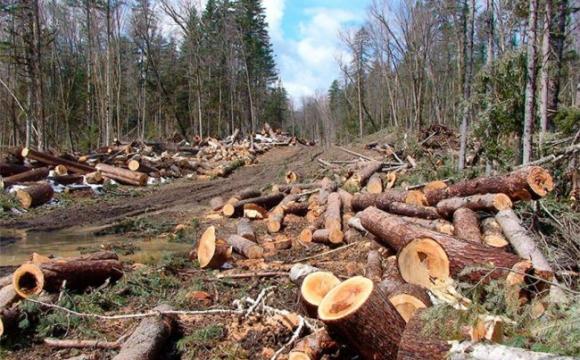 Невідомі особи вирубують 25 гектарів лісу на Волині