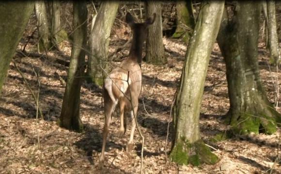 Поліція розслідує, хто вбив оленя поблизу Луцька