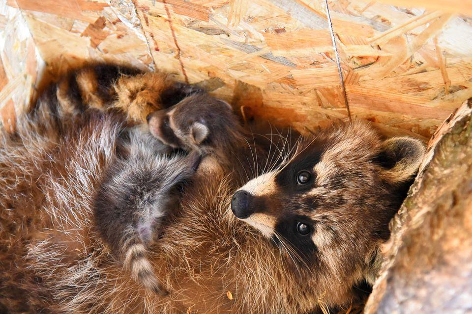 У Луцькому зоопарку показали багатодітні родини тварин
