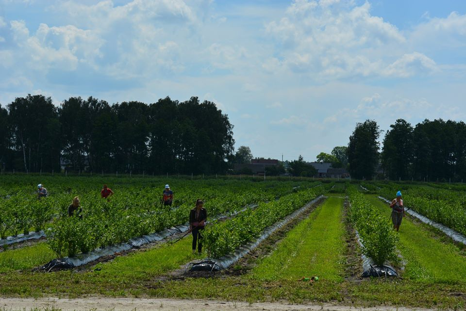Депутати Волиньради з'ясовували, чи впливає вирощування лохини на рівень води у Світязі