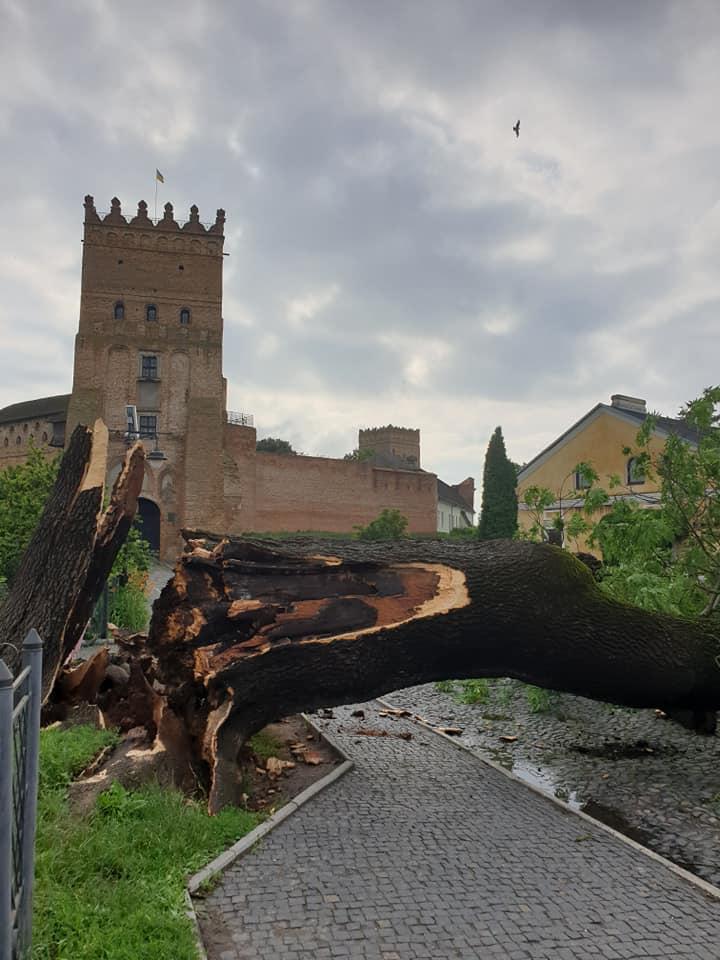 Біля Луцького замку впав легендарний Лесин ясен
