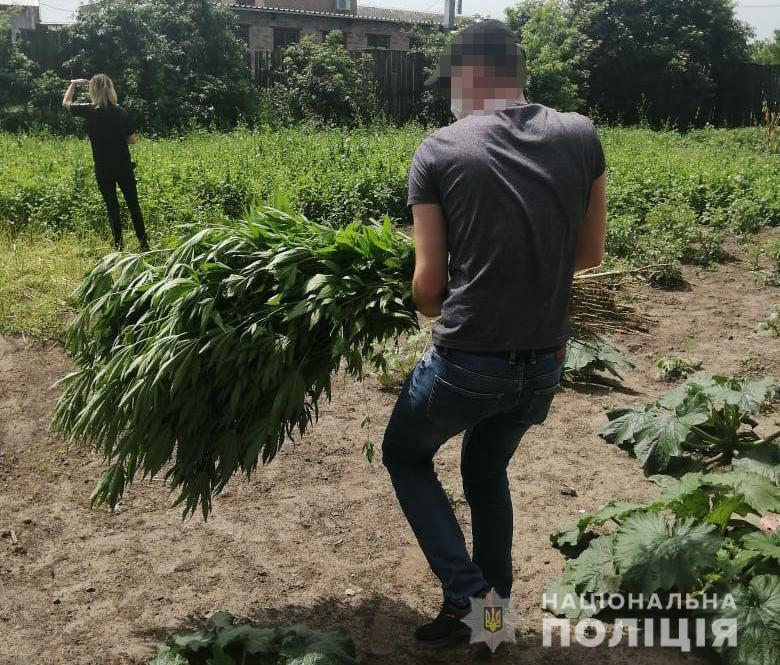 У Луцькому районі виявили плантацію конопель