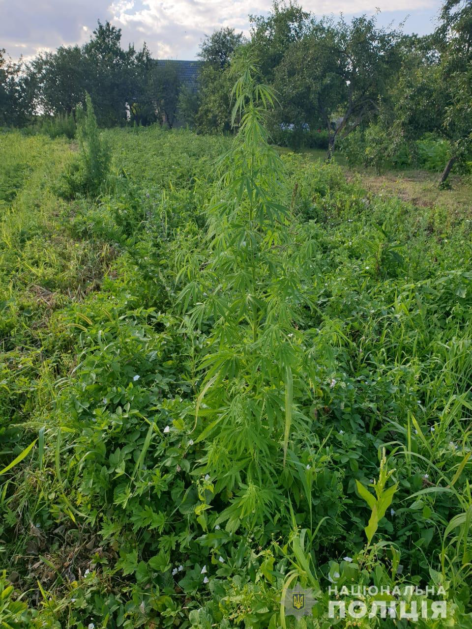 На Волині вилучили майже 400 рослин конопель