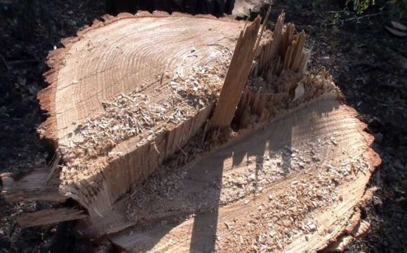 Двох волинян засудили за незаконну порубку лісу