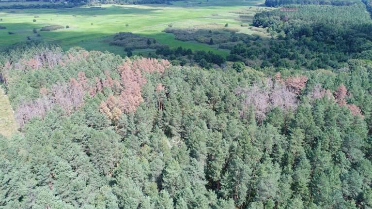 Ситуація з ураженням волинських лісів шкідниками досі складна
