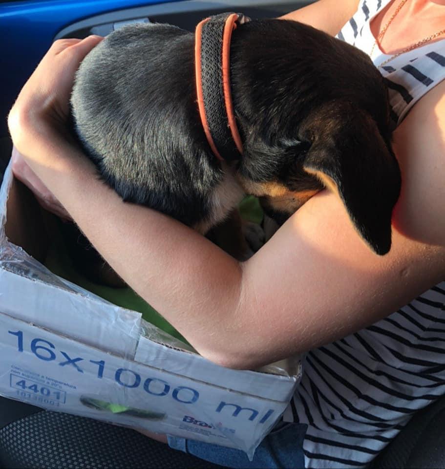 Лучан просять допомогти коштами на лікування собаки, яку збило авто