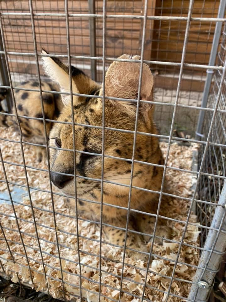 У Луцькому зоопарку поселилися сервали