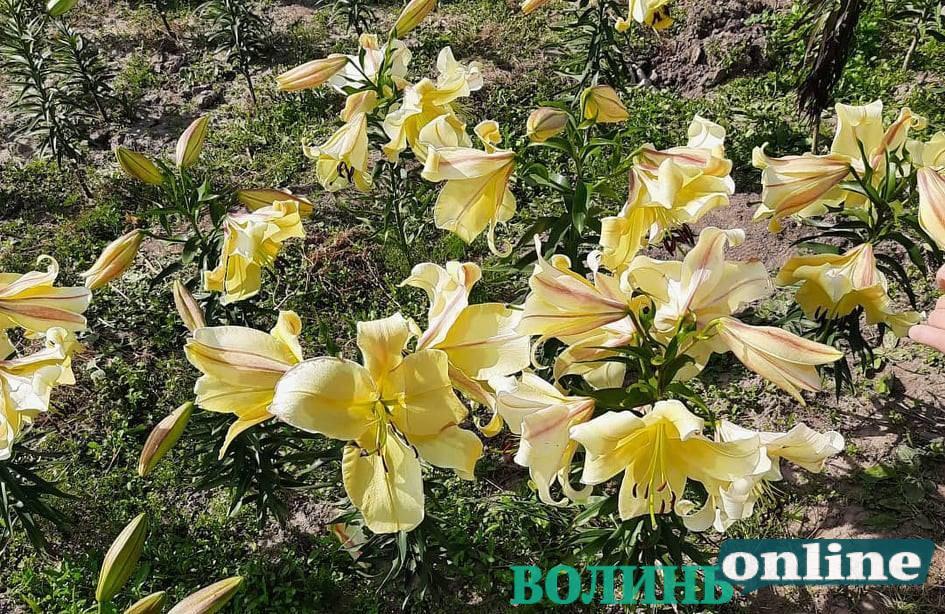 Осіннє свято квітів організували у «Волинській Голландії». ФОТО