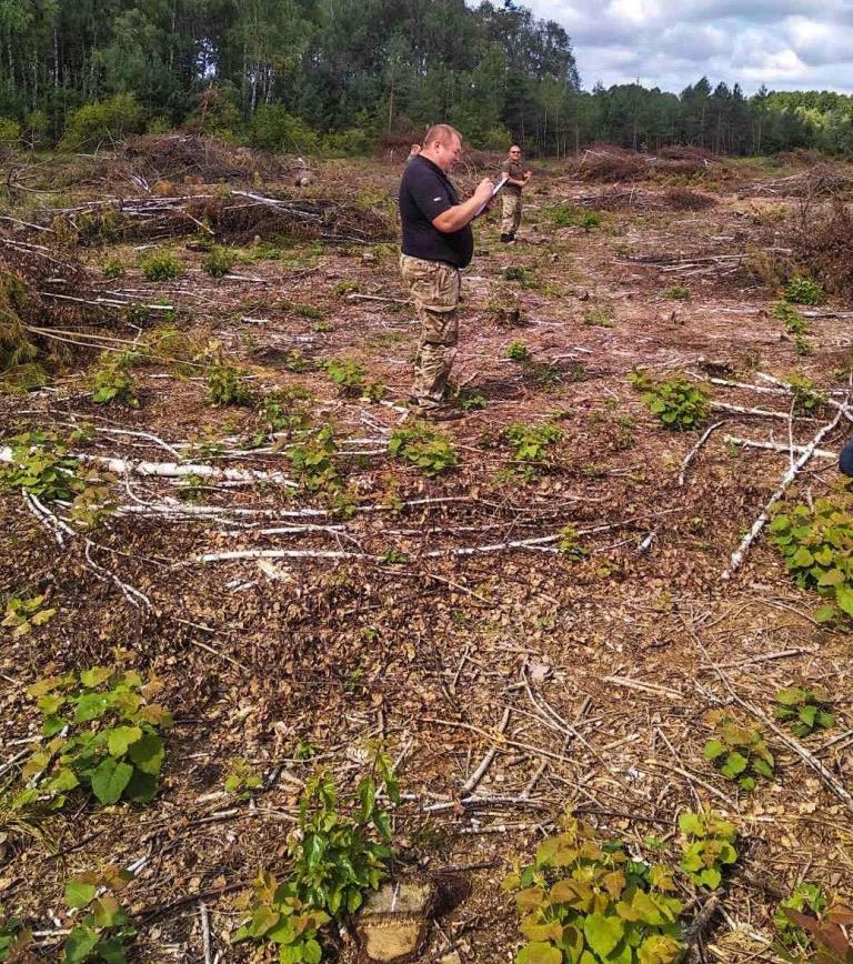 На Волині незаконно зрізали дерев на понад шість мільйонів гривень