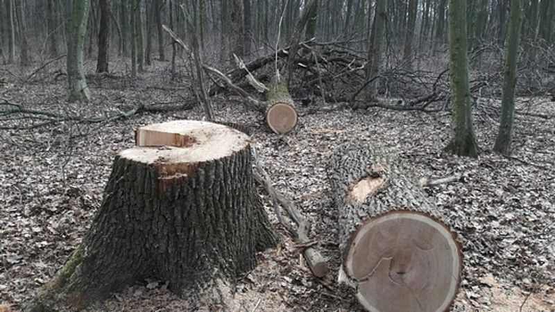 За незаконну порубку дерев волинянин заплатить 16 тисяч