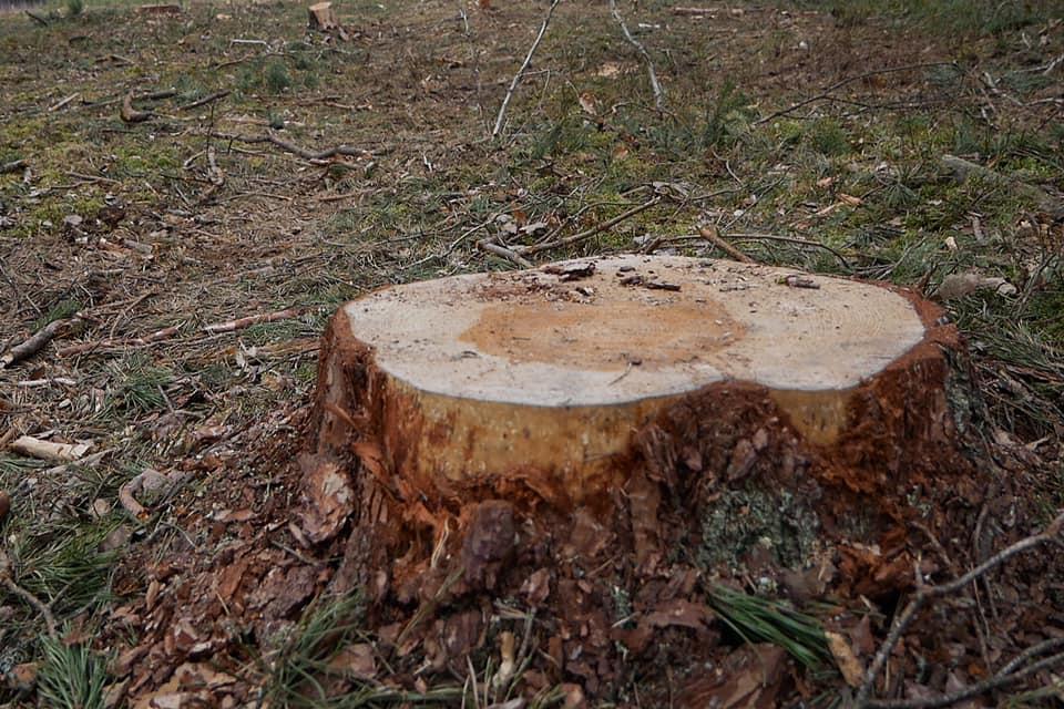 Волинянина підозрюють у незаконній порубці дерев у лісі