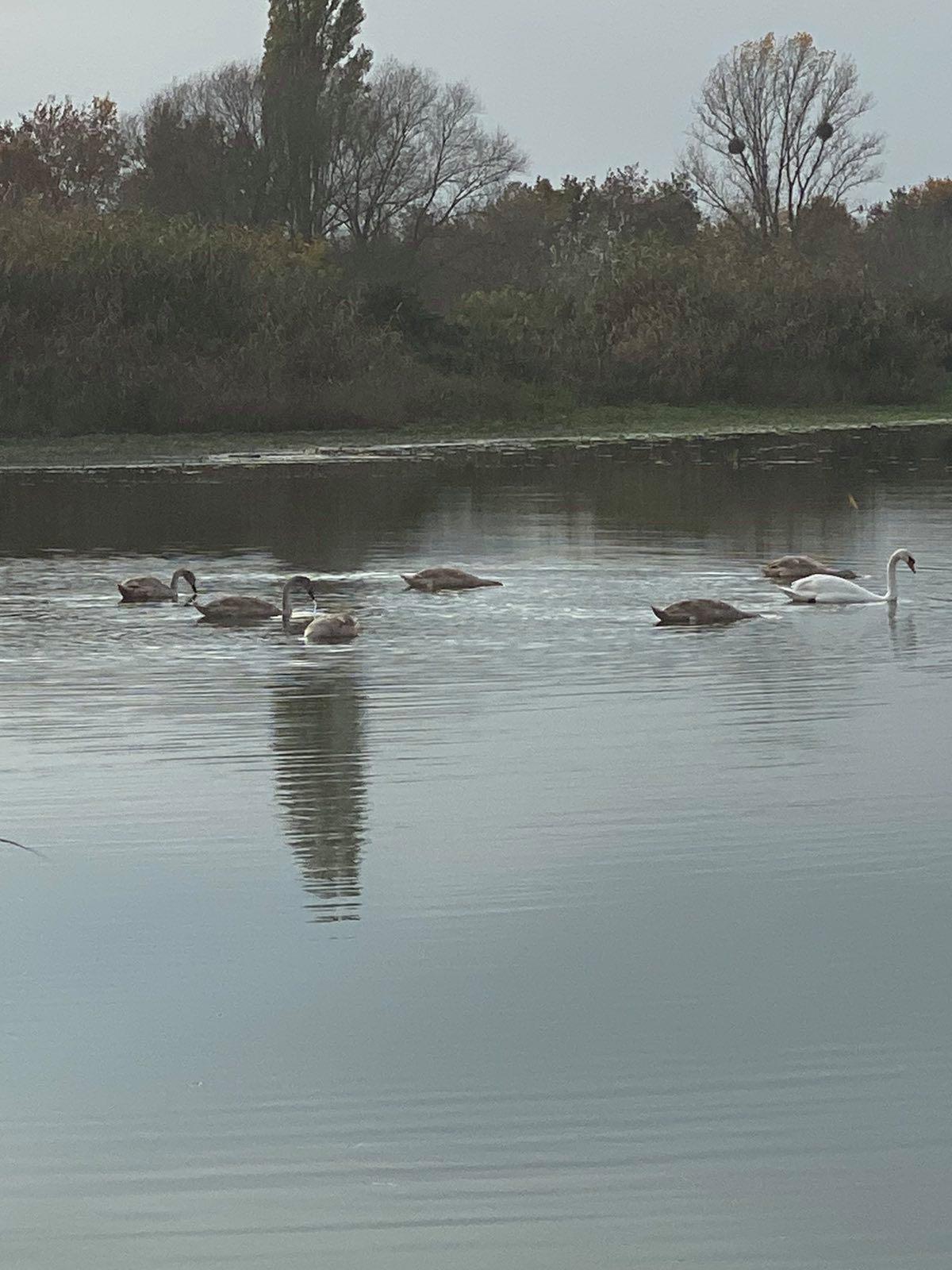 На біоставках «Луцькводоканалу», після їх очистки вперше за 47 років, оселилися лебеді